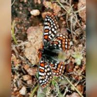 Endangered Butterfly Threatened By Great Trump Wall=> Liberal Hacks Worried Butterfly Can't Fly Over Wall!