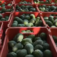 Mexican Drug Kingpins Are Seizing Control of Mexico's Lucrative Avocado Industry